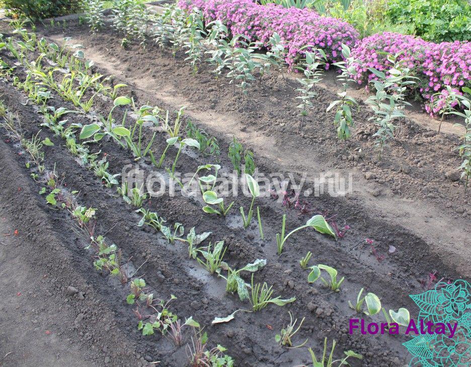 Посадки многолетних растений.