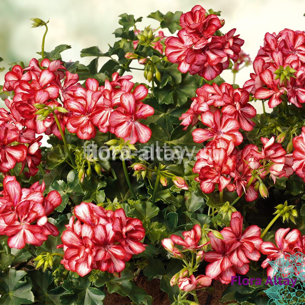 Пеларгония плющелистная PAC Mexica Ruby