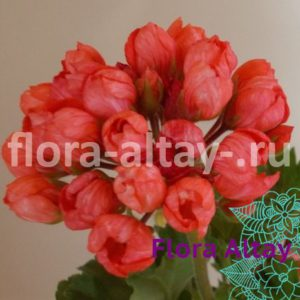 Пеларгония тюльпановидная Red Pandora