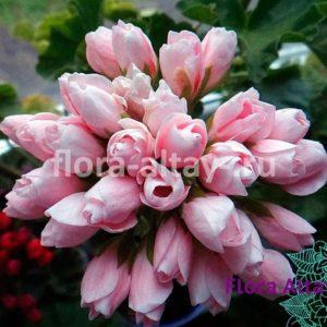 Пеларгония тюльпановидная Emma