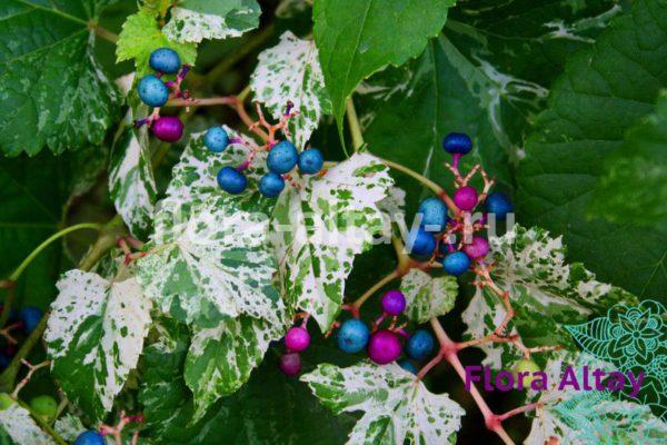 Виноградовник железистый Элеганс