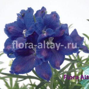 Дельфиниум Grandiflorum Blue Mirror Blauer Spiegel