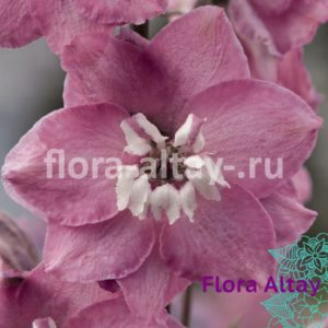 Дельфиниум Magic Fountains Cherry Blossom White Bee