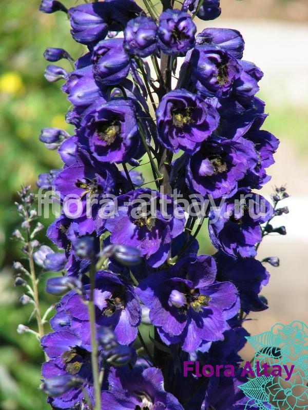 Дельфиниум Magic Fountains Dark Blue Dark Bee