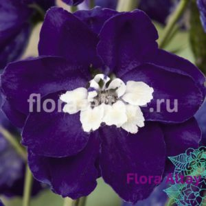 Дельфиниум Magic Fountains Dark Blue White Bee