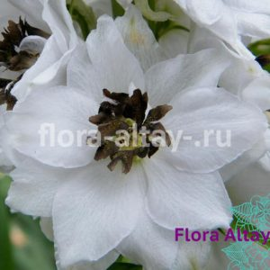 Дельфиниум Magic Fountains White Dark Bee