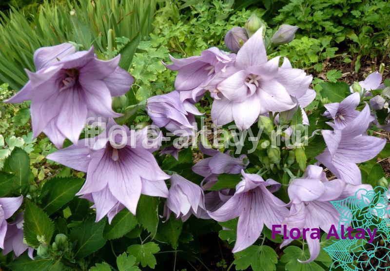 Платикодон Astra Semi-Double Lavender