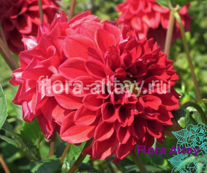 Георина Figaro Red