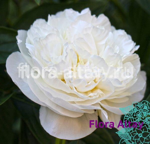 Пион Белый журавль (Xian he bai)