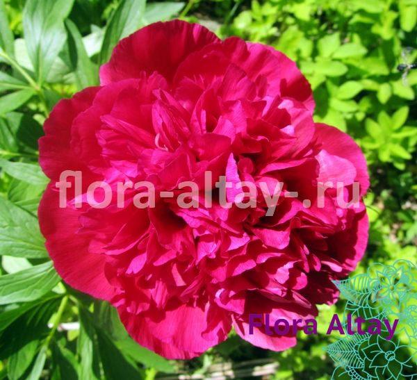 Пион Red Sarah Bernhardt