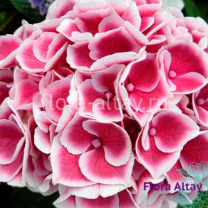 Гортензия Tivoli Pink