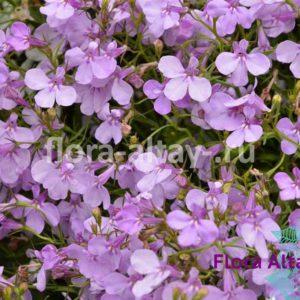 Лобелия Riviera Lilac