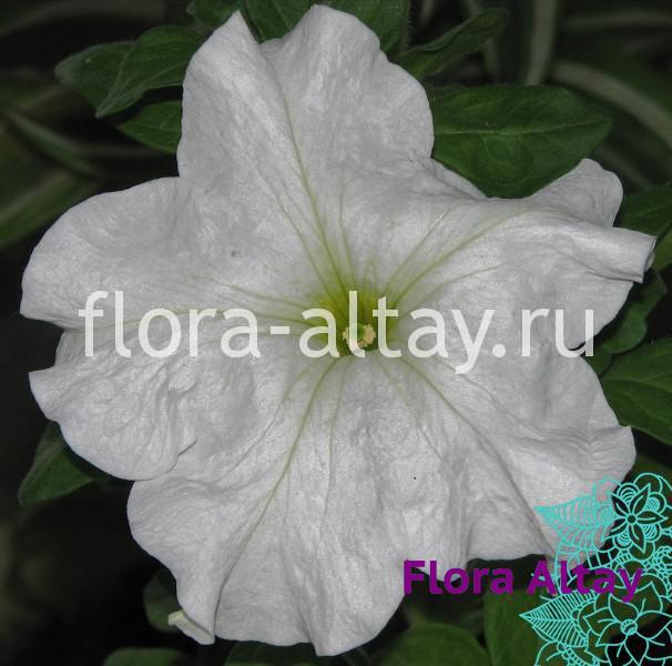 Петуния Supercascade White