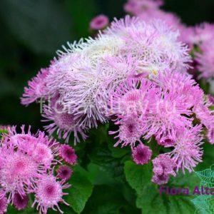 Агератум сеянец Хоустона Cloud Nine Pink