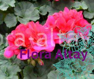 Пеларгония зональная Toscana Dolce Vita Neon Blue (Nancy)