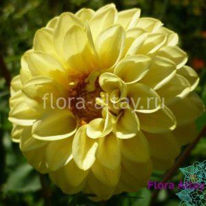 Георгина Figaro Yellow Shades