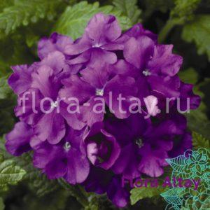 Вербена черенок Empress Sun Violet