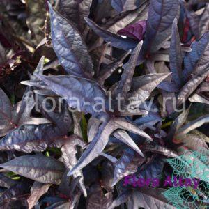 Ипомея Ipomoea batatas SolarPower Black