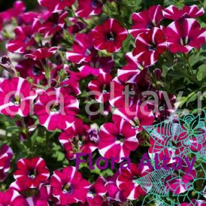 Петуния Littletunia Bicolor Illusion