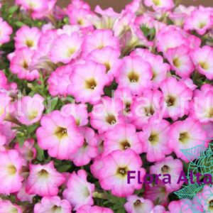 Петуния Littletunia Pink Frills