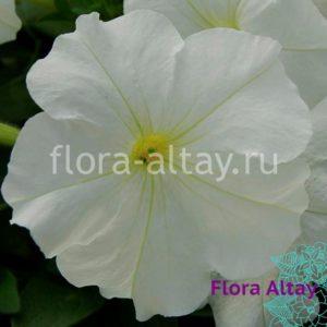Петуния Mambo GP white