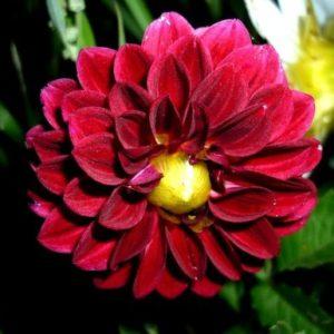Георгина Figaro Violet Shades