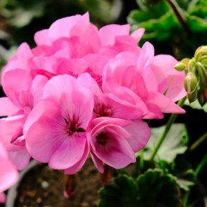 Пеларгония Big Eeze Pink