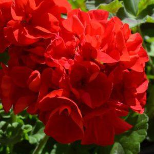 Пеларгония Big Eeze Red