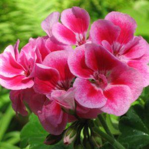Пеларгония Flower Fairy® Pink