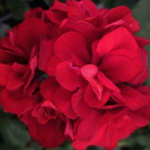 Пеларгония Great Balls of Fire Velvet Red