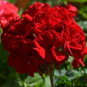 Пеларгония Castello Dark Red (Bernd)