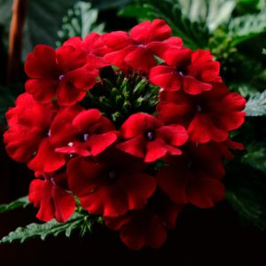 Вербена Empress Sun Red