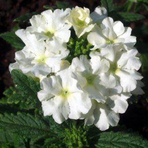Вербена Empress Sun White вегетативная