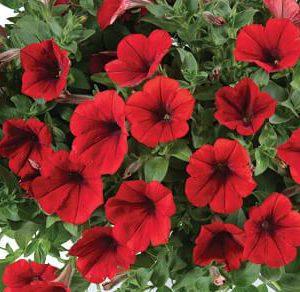 Петуния Cascadias Red вегетативная