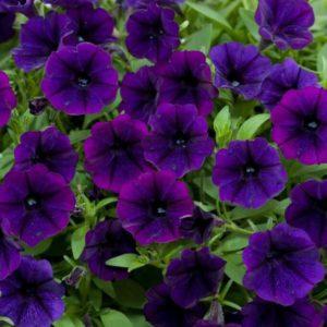 Петуния Littletunia Purple Blue
