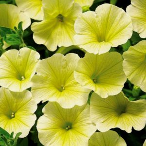 Петуния Potunia Piccola Yellow