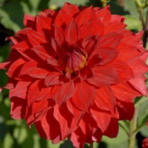 Георгин бордюрный Ruby Red