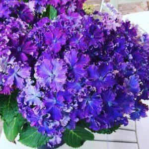Гортензия Curly Sparkle Blue Purple