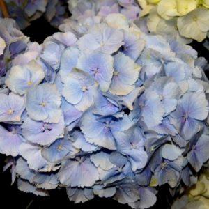 Гортензия Everbloom ® Blue Wonder