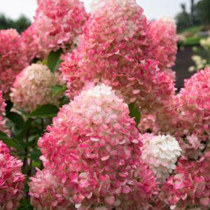 Гортензия Pink & Rose