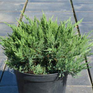 Можжевельник Tamariscifolia