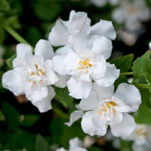 Бакопа Bacopa Double Snowball White