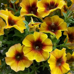 Петхоа BeautiCal Caramel Yellow