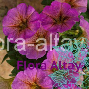 Петхоа BeautiСal Sunray Pink