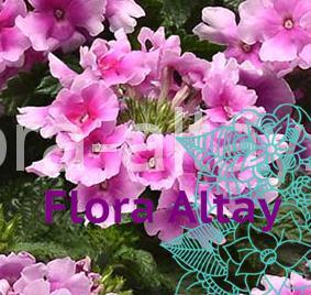 Вербена Endura Scape pink Bicolour