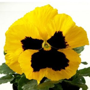 Виола Power Yellow with Вlotch